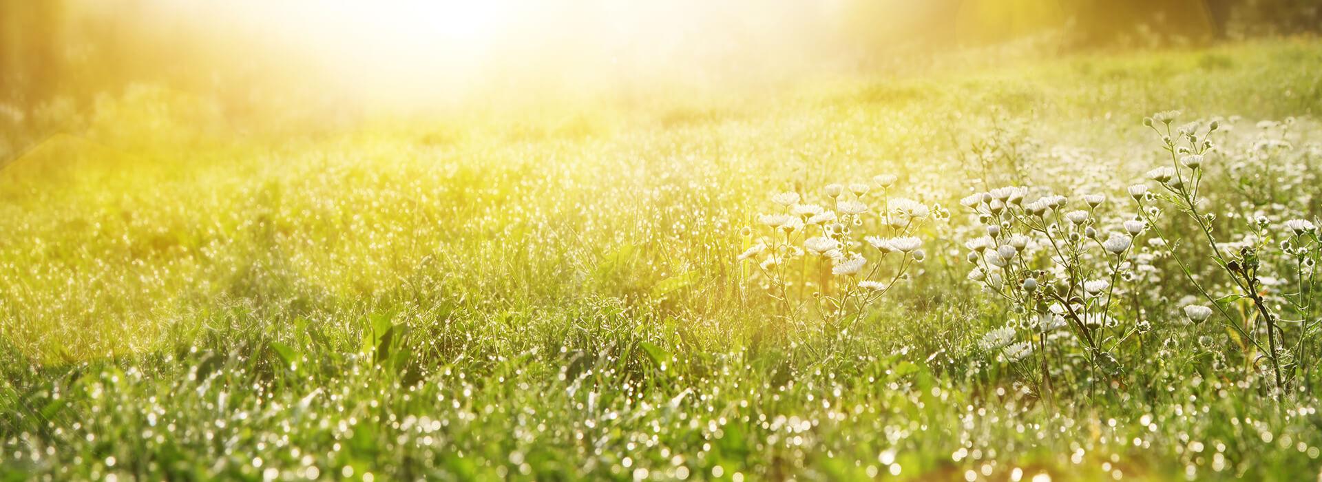 Blütenwiese mit Pollenflug